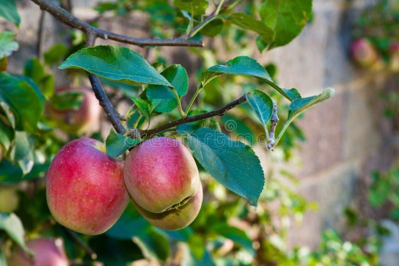 Szczegół czerwieni jabłka zdjęcia royalty free