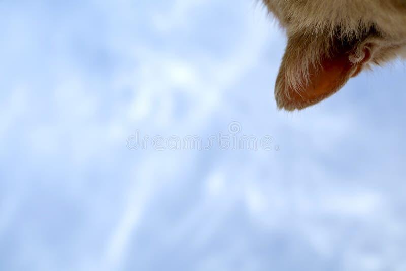 Szczegół czerwona kot głowa z niebieskim niebem zdjęcia stock