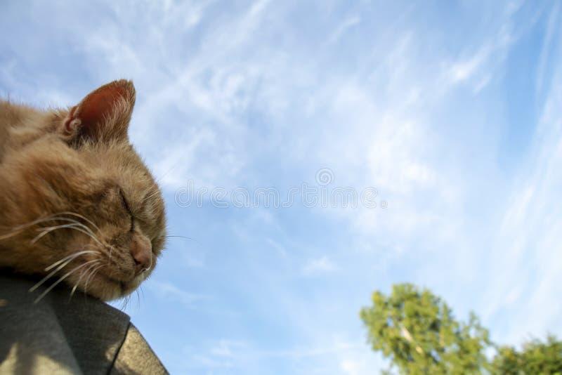 Szczegół czerwona kot głowa z niebieskim niebem fotografia royalty free