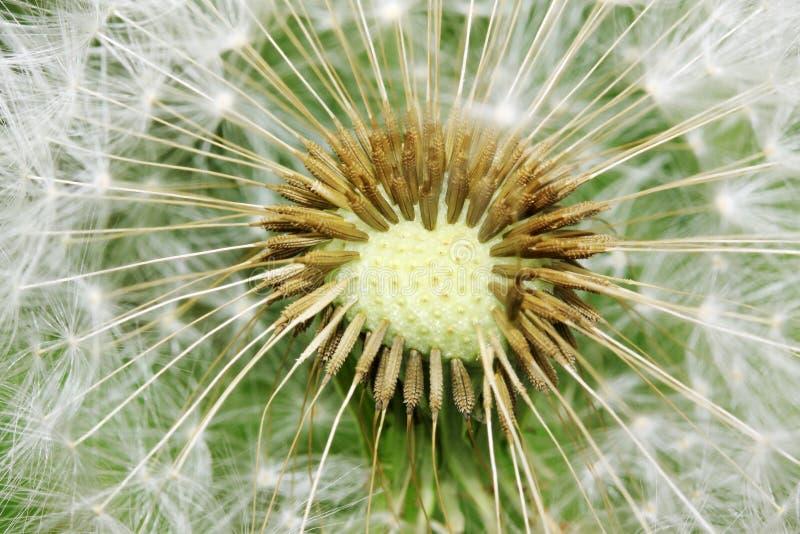 Szczegół Dandelion w naturze fotografia royalty free