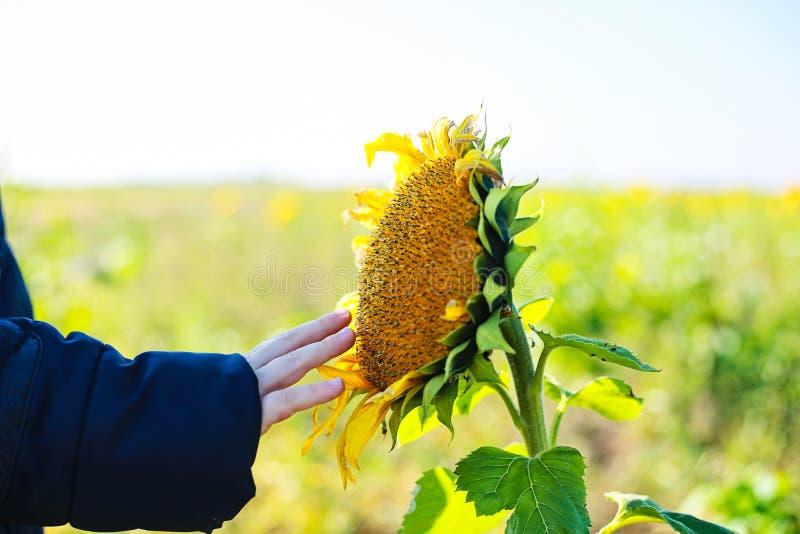 Szczegół dotyka słonecznika chłopiec zdjęcie royalty free