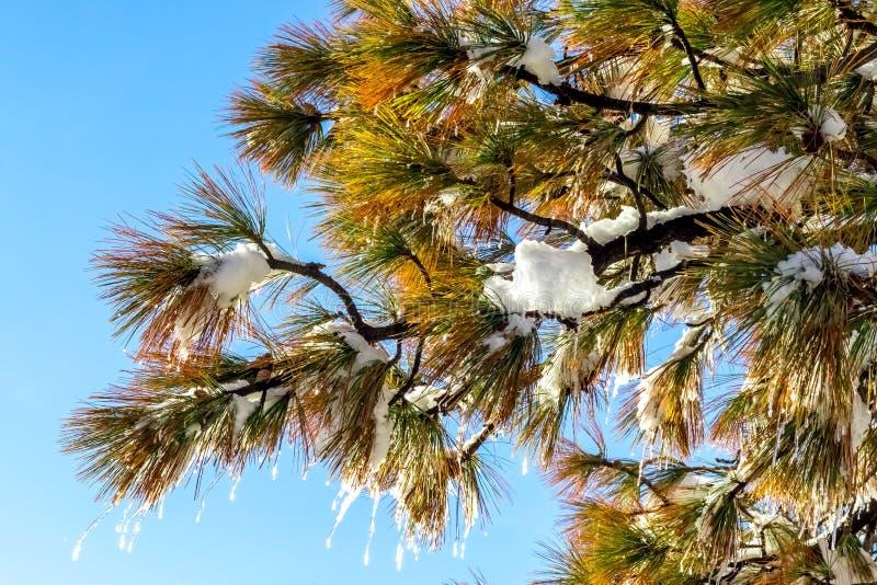 Szczegół drzewa i Icecle, zmiana klimatu przy Południowym Californi fotografia royalty free