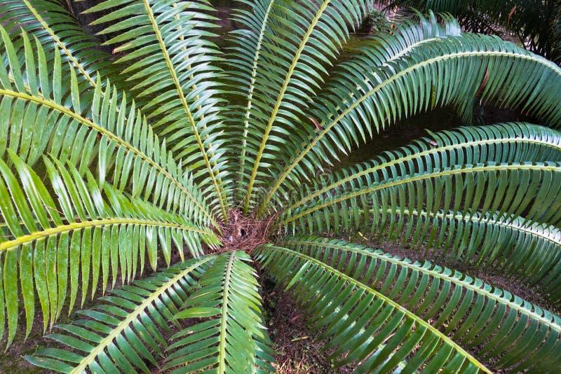 Szczegół drzewko palmowe opuszcza przy ogródem w Cagliari, Sardinia zdjęcia royalty free