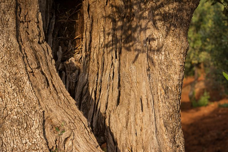Szczegół dudniący bagażnik drzewo oliwne zdjęcie stock