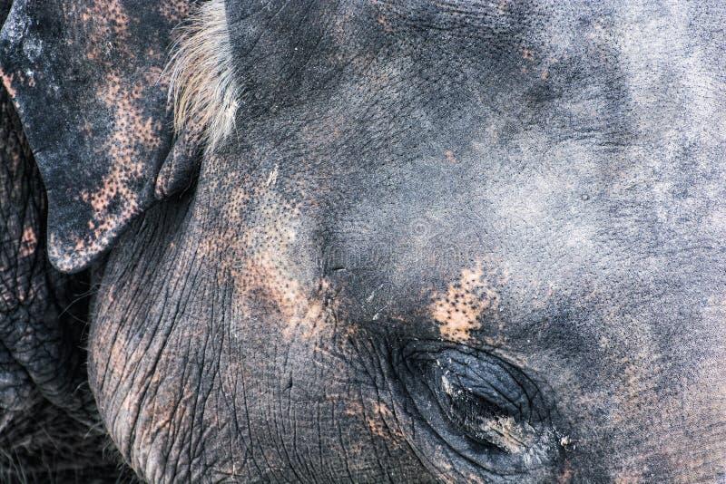 Szczegół fotografia słoń twarz, zwierzęcy temat obraz stock