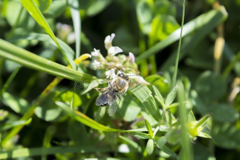 Szczegół honeybee w Łacińskich Apis Mellifera, zdjęcia stock