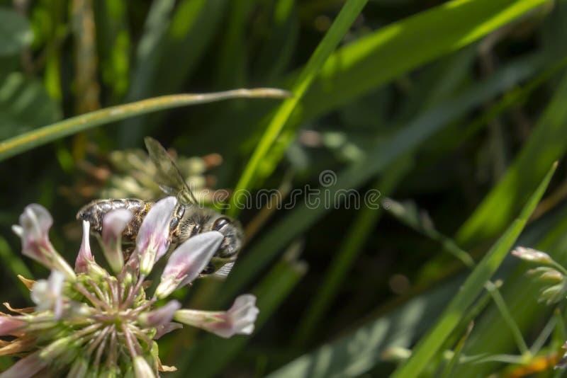 Szczegół honeybee w Łacińskich Apis Mellifera, obraz stock