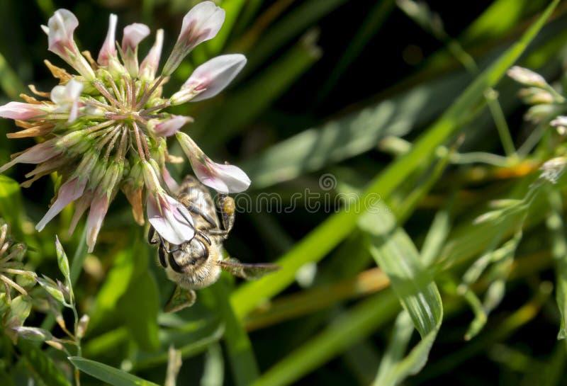 Szczegół honeybee w Łacińskich Apis Mellifera, obrazy stock