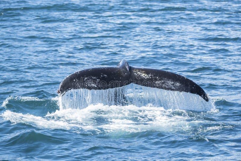Szczegół humpback żebra ogon, Iceland zdjęcie royalty free