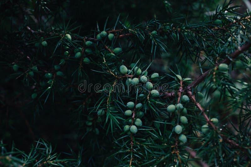 Szczegół jałowiec gałąź pełno jagody fotografia stock