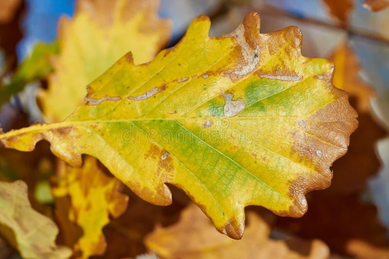 Szczegół jesień liścia dębowy teren obrazy royalty free