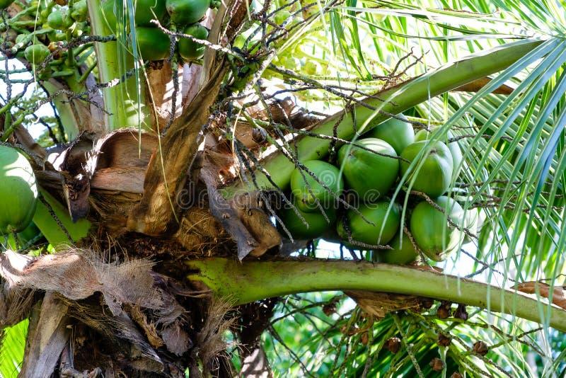 Szczegół kokosowi drzewka palmowe na słonecznym dniu w Rio De Janeiro Wiele zieleni koks wieszają bellow ampuła opuszcza zdjęcie royalty free