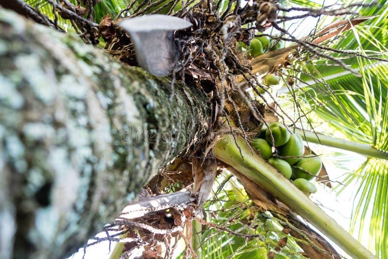 Szczegół kokosowi drzewka palmowe na słonecznym dniu w Rio De Janeiro Wiele zieleni koks wieszają bellow ampuła opuszcza zdjęcia royalty free