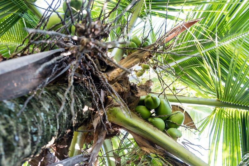 Szczegół kokosowi drzewka palmowe na słonecznym dniu w Rio De Janeiro Wiele zieleni koks wieszają bellow ampuła opuszcza obrazy stock