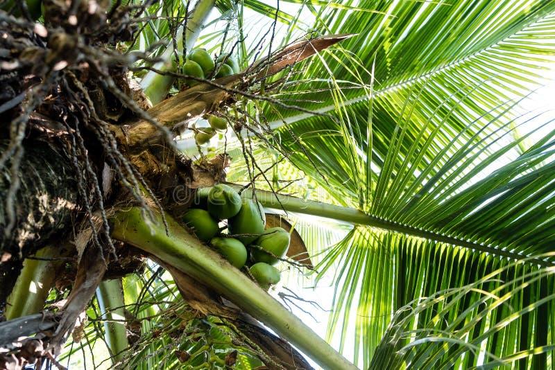 Szczegół kokosowi drzewka palmowe na słonecznym dniu w Rio De Janeiro Wiele zieleni koks wieszają bellow ampuła opuszcza zdjęcia stock
