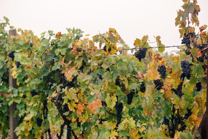 Szczegół kolorowa winnica jesień w Południowym Morawskim regionie fotografia royalty free
