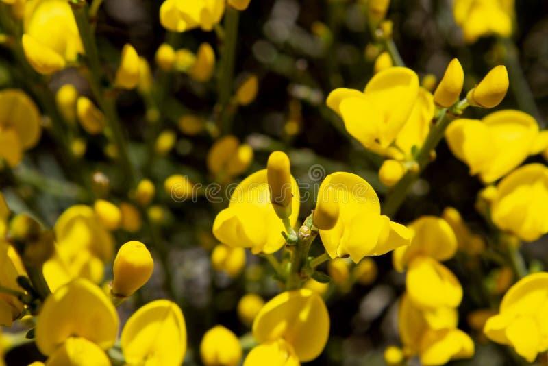 Szczegół kolorowy i intensywny żółta kwiat miotła kwiat, rozbraja tło ciemności miotła Tekstura w kolorze żółtym fotografia royalty free