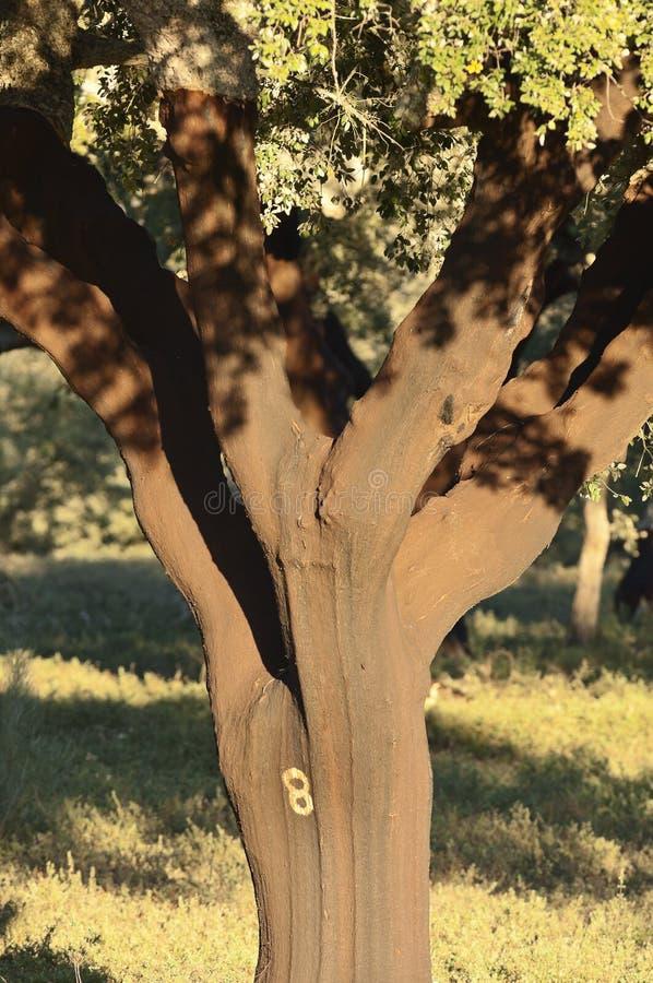 Korkowy drzewo zdjęcie stock