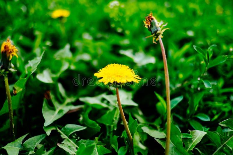 Szczegół kwitnący żółci dandelions na trawie przy wschodem słońca Wiosny zielona łąka z dandelions kwiat wiosny leśny white zdjęcia stock