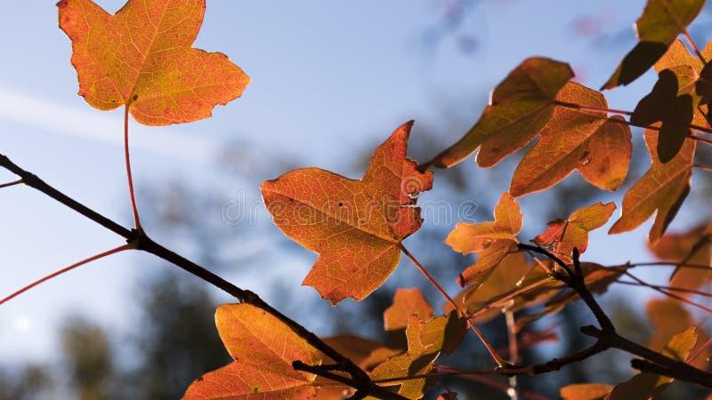 Szczegół liście w lesie los angeles Herreria obrazy stock
