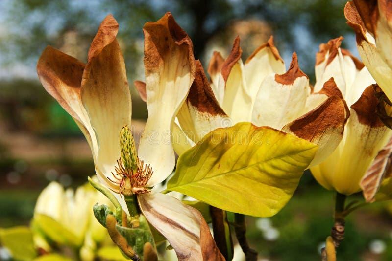 Szczegół magnolia zdjęcia stock
