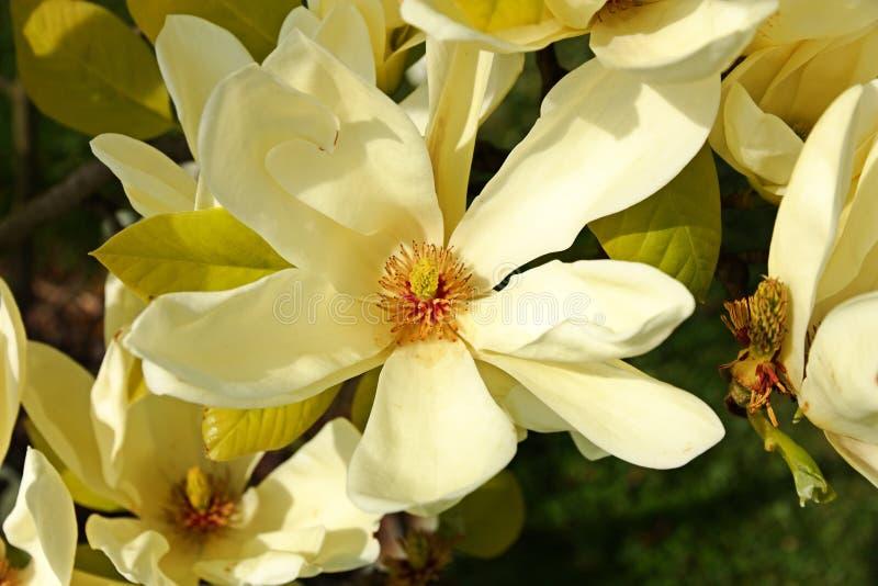 Szczegół magnolia fotografia stock