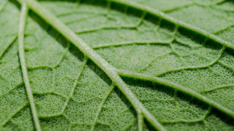 Szczegół makro- zielona liść tekstura obraz royalty free