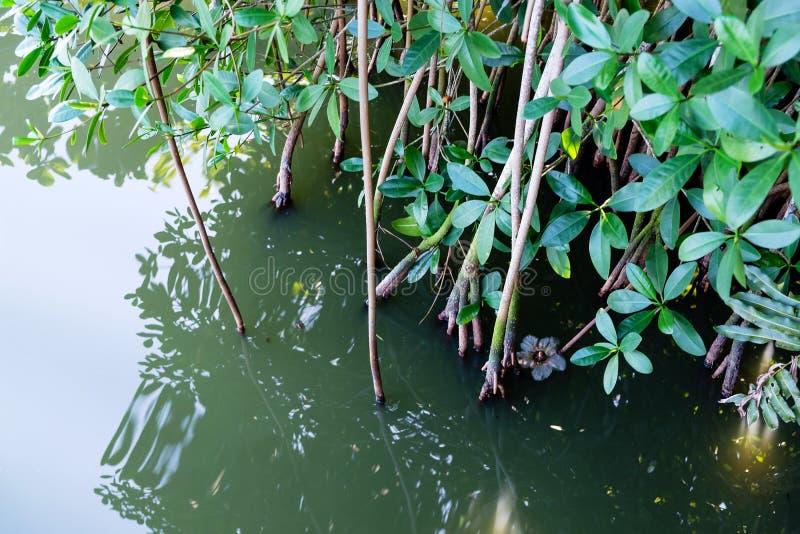 Szczegół mangrowe rośliny w Marapendi lagunie, Barra da Tijuca, Rio De Janeiro zdjęcia stock