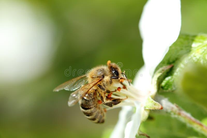 Szczegół miodowa pszczoła fotografia royalty free
