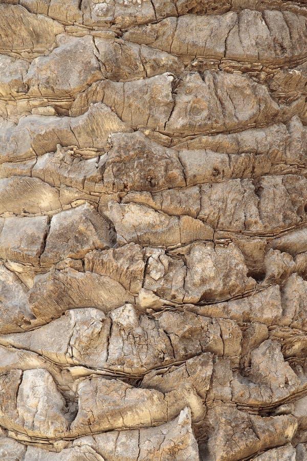 Szczegół na przedpolu cortex drzewko palmowe zdjęcia royalty free