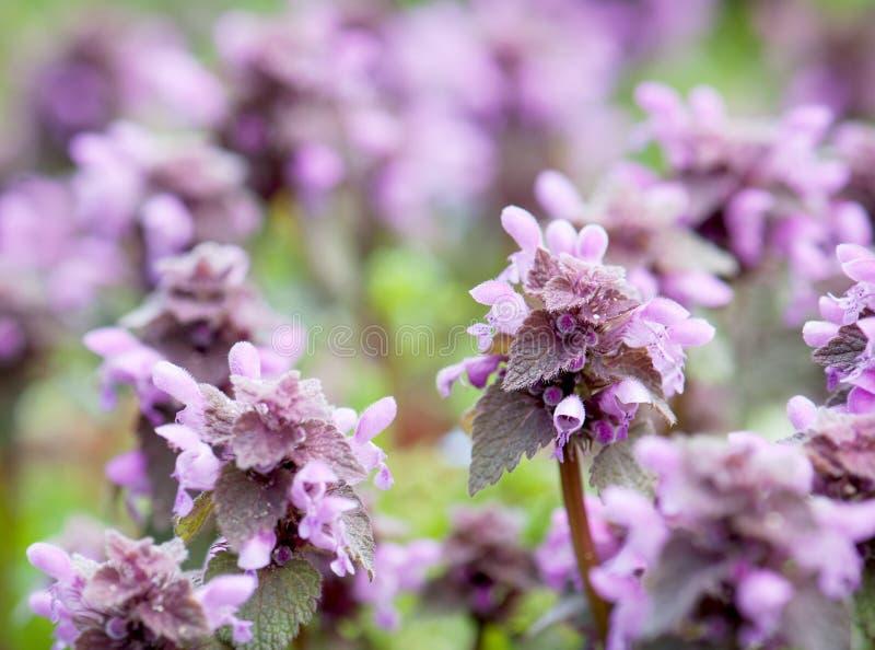 Szczegół nieżywa pokrzywa (Lamium purpureum) obrazy stock