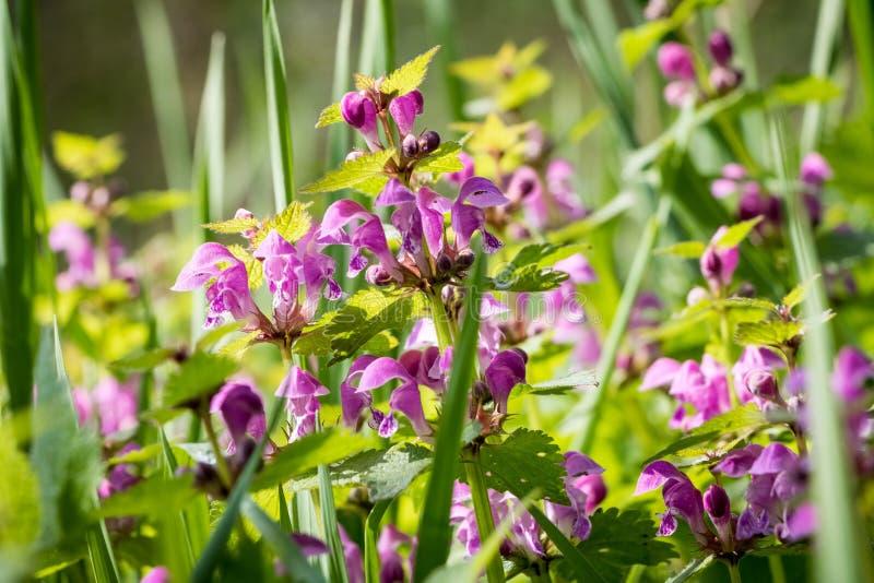 Szczegół od wiosny łąki z kwiatonośnym Lamium maculatum obraz stock
