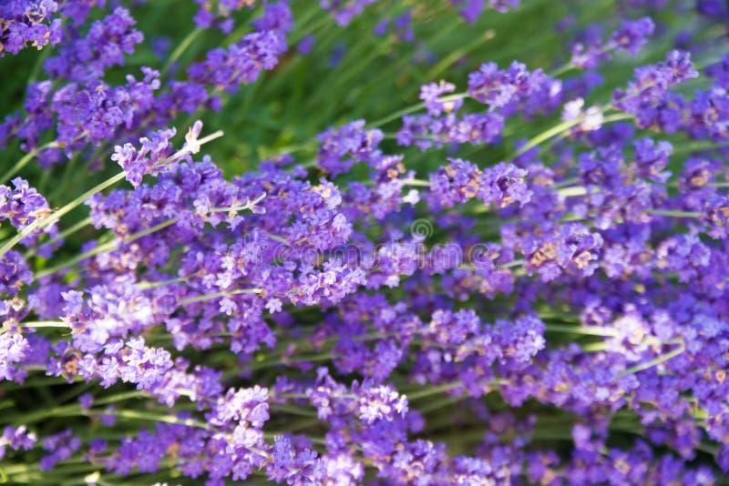 Szczegół ogród w pełnym kwiacie z polem lawendowy Lavandula fotografia stock