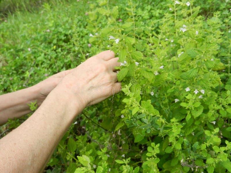 Szczegół ogrodowi ziele, cytryna balsam lub botaniczny imię Melissa leczniczy, Zbierać ziele fotografia royalty free