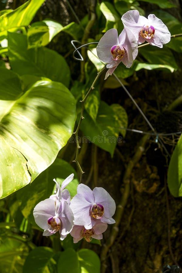 Szczegół orchidea w jawnym ogródzie fotografia royalty free