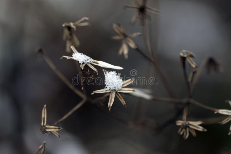Szczegół płatki śniegu wtykał na wysuszonej roślinie fotografia royalty free