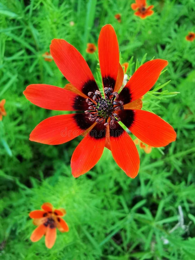 Szczegół piękny czerwony kwiat fotografia royalty free