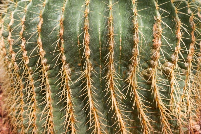Szczegół piękny złoty lufowego kaktusa echinocactus grusonii w ogródzie botanicznym zdjęcia royalty free