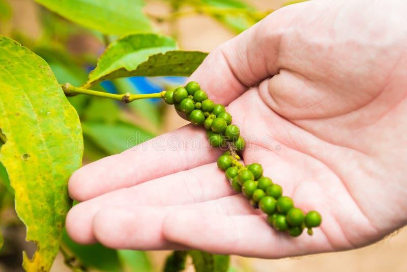 Szczegół pieprz w ręce, pieprzu ogródu gospodarstwo rolne, Phu Quoc wyspa, Wietnam obrazy royalty free