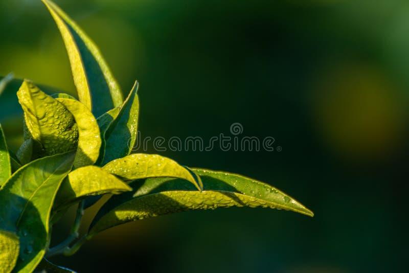 Szczegół pomarańczowego drzewa zieleń opuszcza z kroplami hoarfrost Makro- fotografia stock