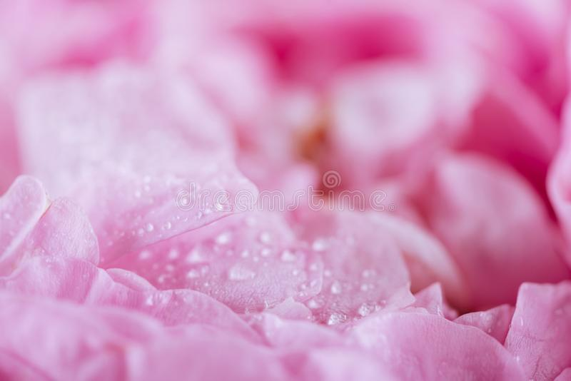 Szczegół różany płatek menchii cukierki dla tło wizerunku zdjęcia royalty free