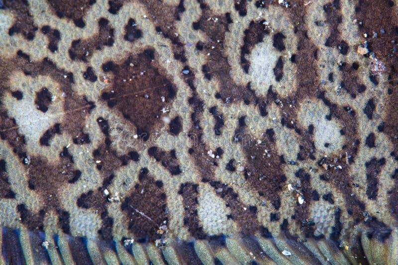Szczegół Rybi Waży na Kai podeszwie w Indonezja obrazy stock