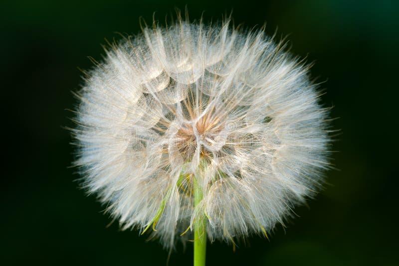 Szczegół suchy kwiat na łące Odizolowywaj?cy na ciemnym tle fotografia stock