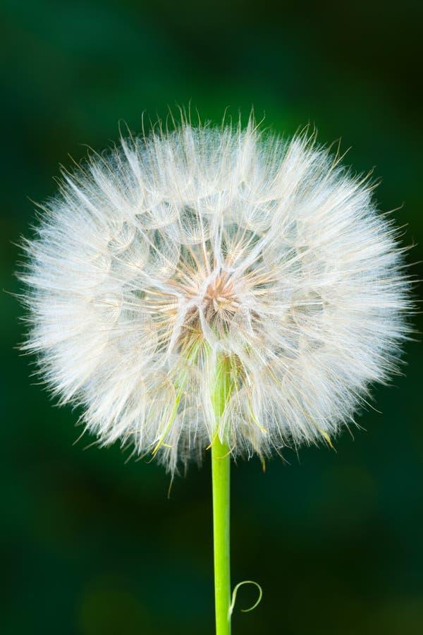 Szczegół suchy kwiat na łące Odizolowywaj?cy na ciemnym tle obraz stock