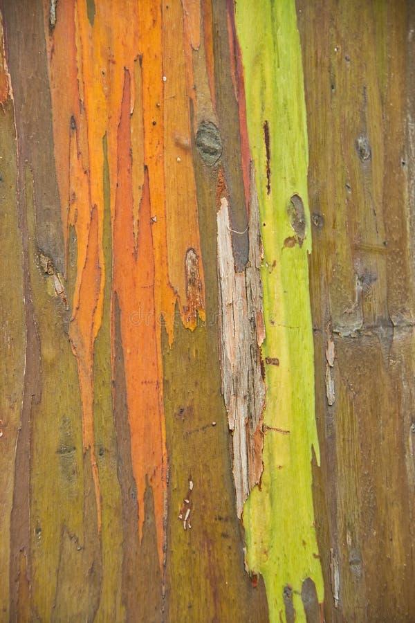 Szczegół tęcza eukaliptus zdjęcie royalty free
