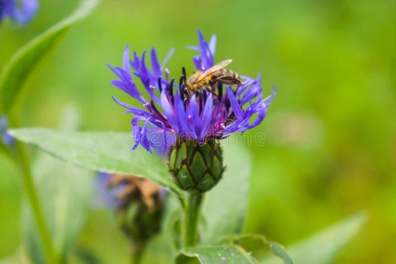 Szczegół w górę fotografii pszczoły, nektaru, pollen, europejczyka lub western pszczoły miodowy obsiadanie na błękitnym kwiacie h zdjęcia royalty free