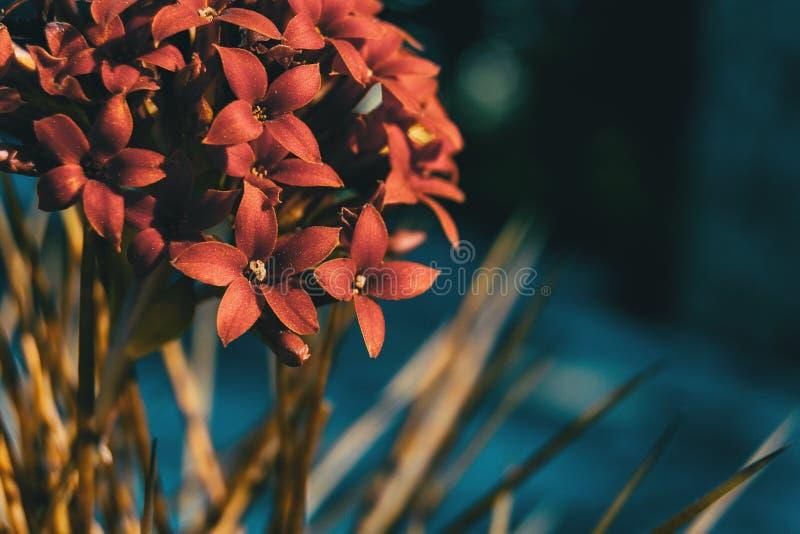 Szczegół wiązka czerwony kalanchoe kwitnie fotografia stock