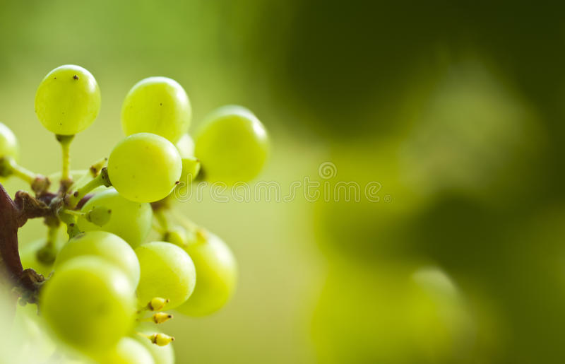 Szczegół winogrono wino obraz royalty free