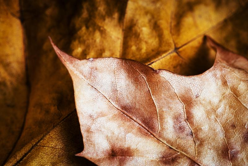 Szczegół złoci jesień liście zdjęcie royalty free