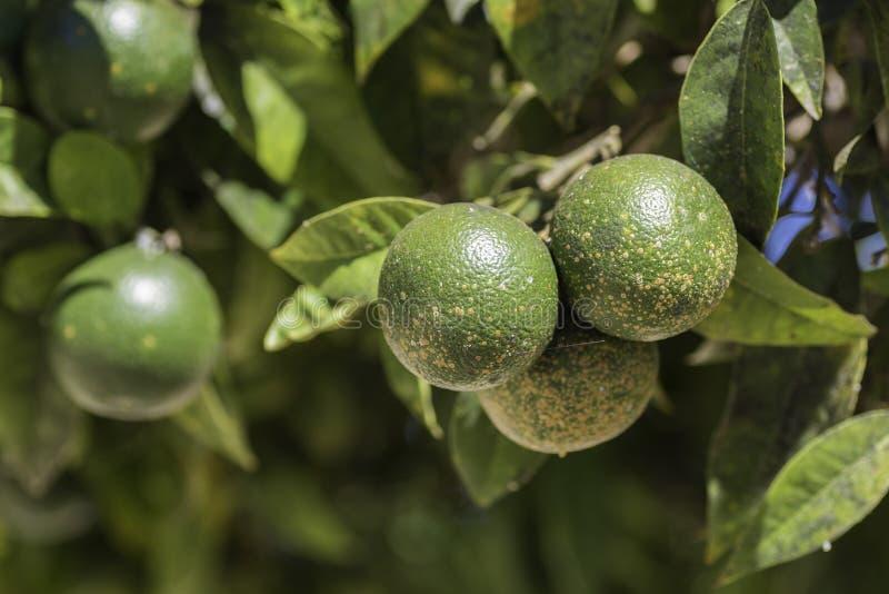 Szczegół zielone pomarańcze obraz stock